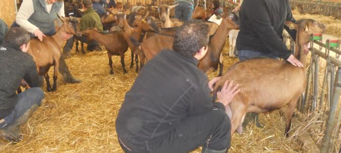Un ostéopathe et des chèvres